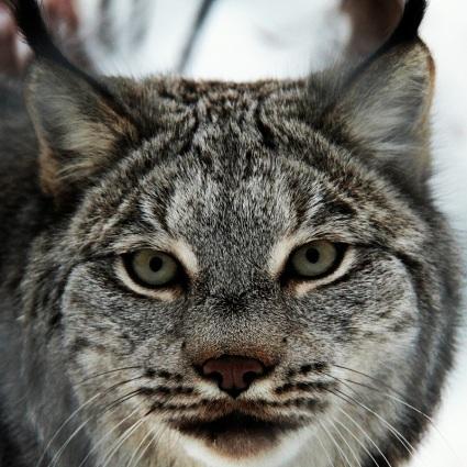 <3 Lynx <3 ©Kelly Tabuteau