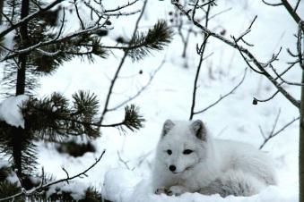 Renard arctique. ©Kelly Tabuteau