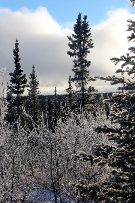 arbres gelés en hiver à whitehorse, yukon, canada